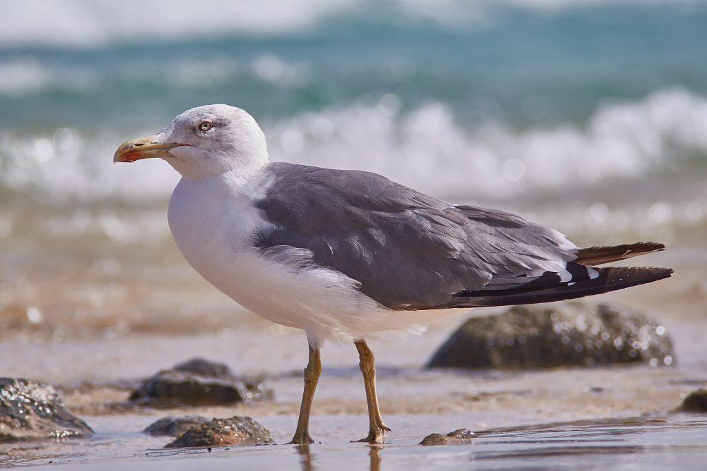 seagull-3299424_1920