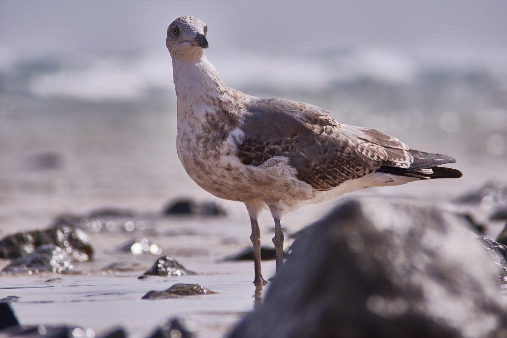seagull-3299427_1920